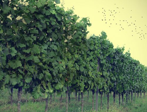 Birds vs lasers: vineyards rely on technology for bird control